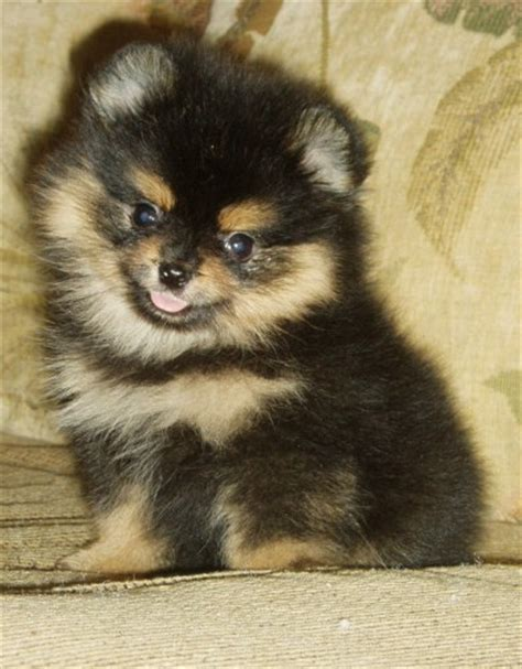 pomeranian puppies black and brown gallery for gt black and brown pomeranian