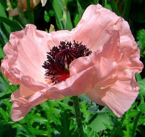 toledo perspectives pale pink poppy