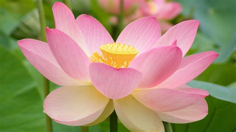 lotus flower pink lotus flower wallpaper splendid wallpaper hd