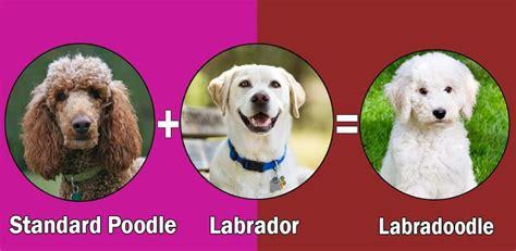 rottweiler breed standard weight top 10 labrador retriever cross breeds disigner breed