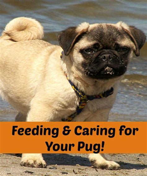 pug diet tips 328 best images about pugs on pits pug and black pug