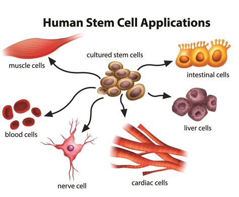 stem cells what are the potential uses of human stem cells
