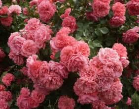 Mini Patio Rosarium Uetersen Rose Red Climber Rose