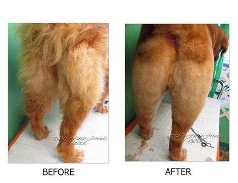 golden retriever show cut pet grooming the the bad the grooming a