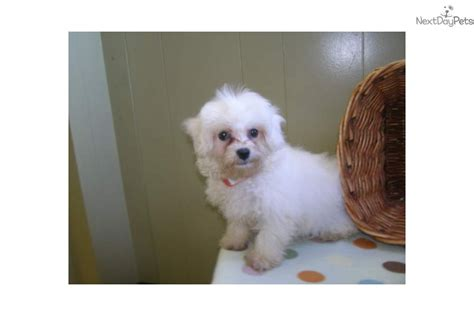 maltipoo puppies for sale in nj malti poo maltipoo puppy for sale near jersey new