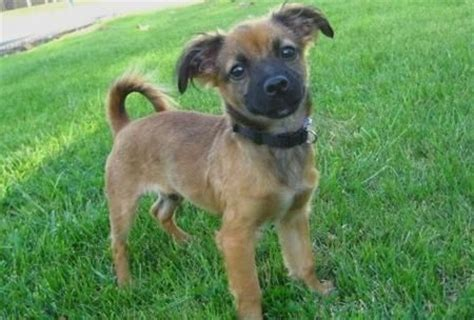 german shepherd chihuahua mix chihuahua german shepherd mix what nate