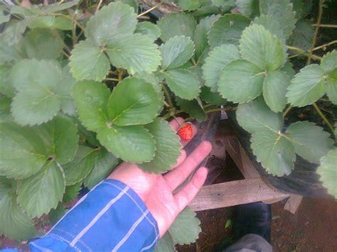 Pupuk Organik Untuk Pertumbuhan 2 jenis pupuk alamiah perangsang akar tanaman guru ilmuan