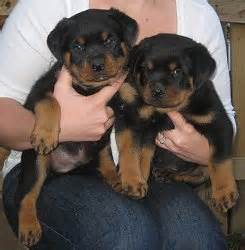 rottweiler puppies atlanta atlantahaus rottweiler puppies for sale pictures