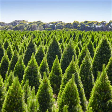 christmas tree farm moorooduc mornington peninsula
