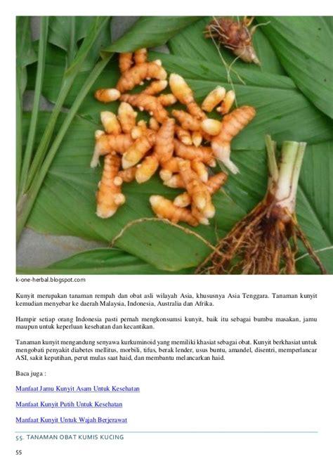 Tanaman Herbal Kunyit Putihkunir Putih khasiat tanaman herbal