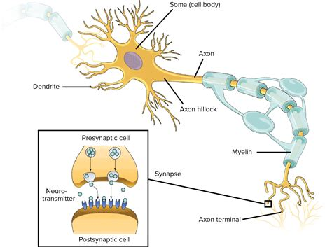 diagram of neurone nervous system overview