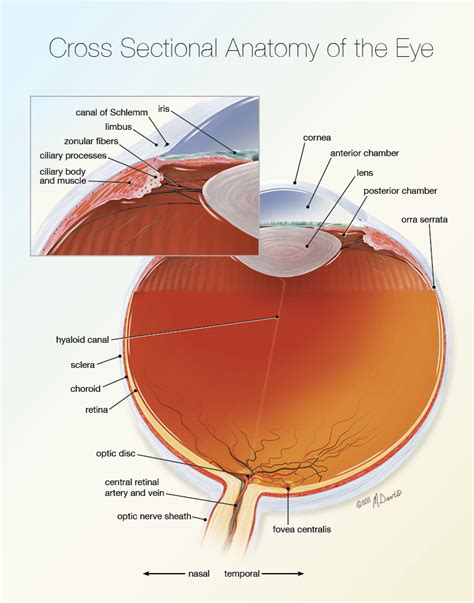 sectional anatomy of the eye eye cross sectional anatomy michelle davis