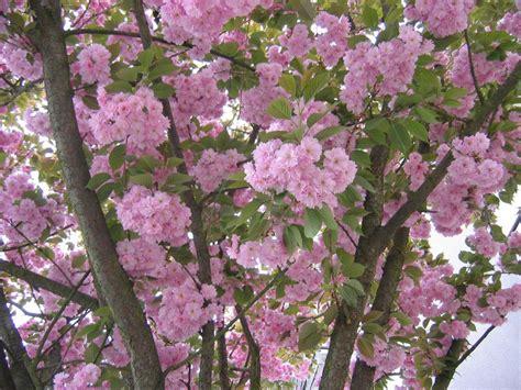 Arbres Fleurs Roses by Types Des Roses Selon La Croissance Roses D Arbre Et De