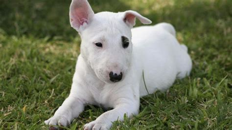 what of is spuds mackenzie what breed of is spuds mackenzie reference
