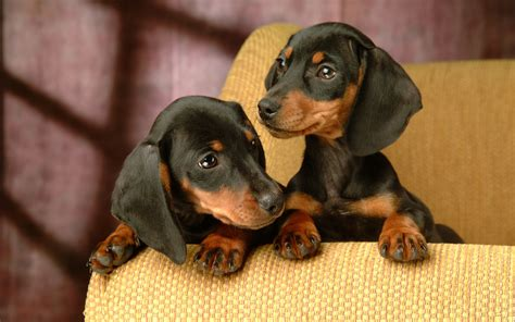 Dachshund Puppies Dachshund Pictures Facts History And More