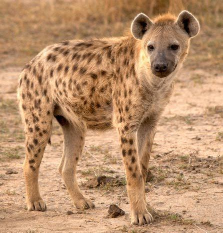 images of hyenas newt in the throat fyanimaldiversity spotted hyena
