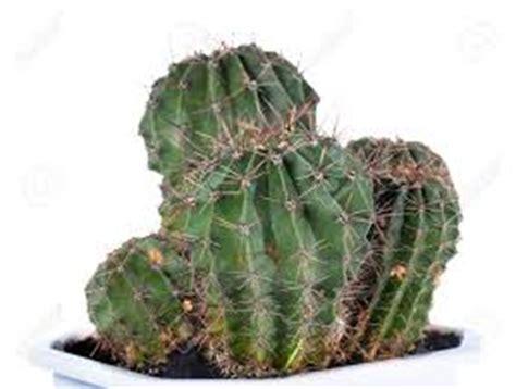 Bibit Jeruk Purut Yang Bagus pembibitan tanaman hias kaktus tanaman bunga hias