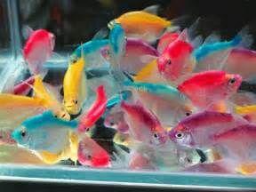 Tetras fishes