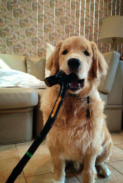 by good morning golden retriever 25 best ideas about good morning dog on pinterest good