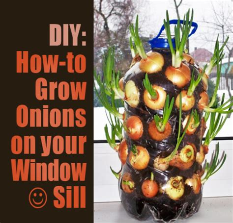 how to grow onions on your windowsill