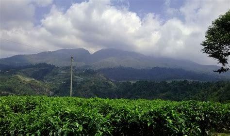 Teh Hijau Kemuning menikmati hijaunya perkebunan teh kemuning karanganyar