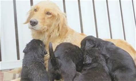 golden retriever birth pair of golden retrievers give birth to 10 black puppies global times