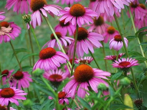 dr dan s garden tips a cornucopia of coneflower