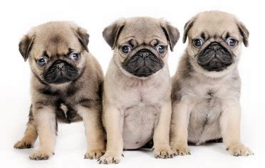 free to home pug do free pug puppies exist