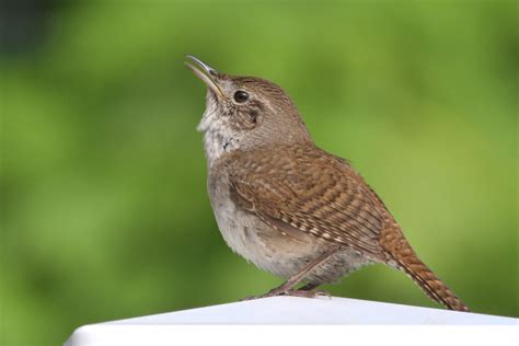 house wren bird house wren photos birdspix