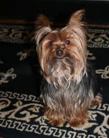 yorkie photos haircuts miniature yorkshire terrier time for a yorkie haircut