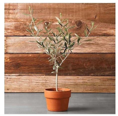 coltivazione in vaso ulivo in vaso piante da giardino coltivare ulivi in vaso