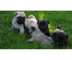 pug puppies for sale colorado springs gift adorable adorable bengal kittens animals colorado city colorado