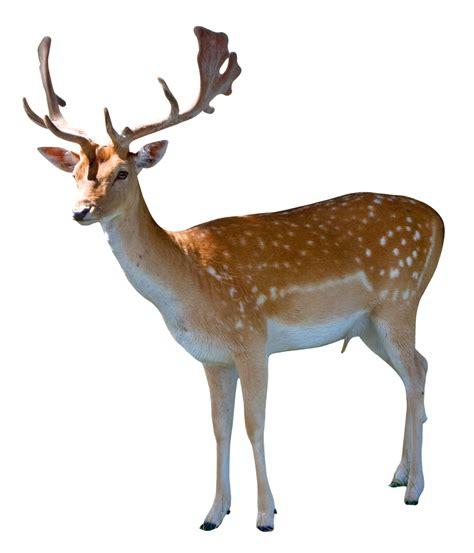 deer images deer png transparent image pngpix