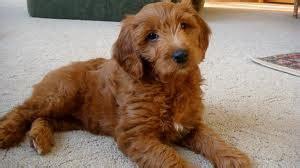 golden retriever hypoallergenic mix miniature goldendoodle poodle and golden retriever mix