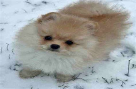 pomeranian malteser top 10 world most popular maltese mix breeds