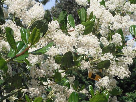 flowering shrubs pacific northwest evergreen shrubs plants pnw