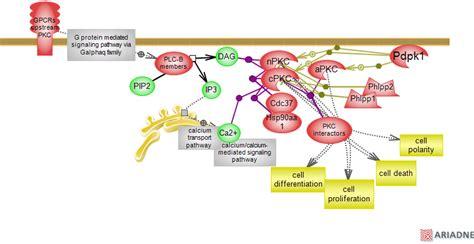 c protein kinase protein kinase c delta meddic