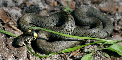 schlangen im garten der schlangen garten nabu schwarzwald baar