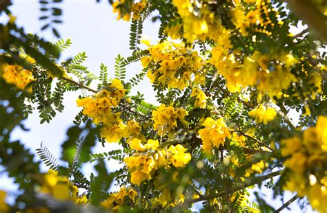 sun l for plants sophora microphylla sun king gardenersworld com