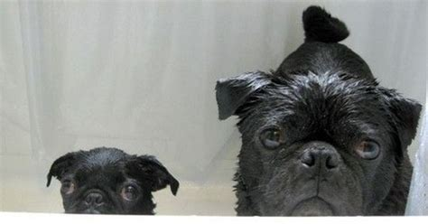 why do pugs big big pug and pug are disappointed in you eyebleach black