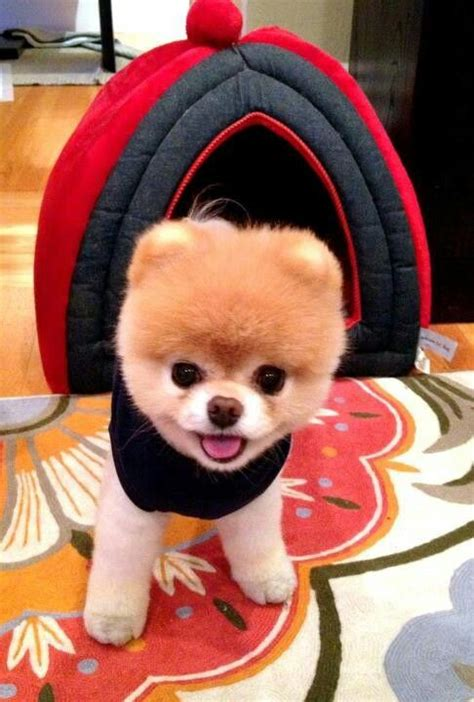 can all pomeranians look like boo 124 best images about boo the cutest of dogs on cutest dogs animals and