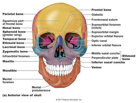 palatine bone google search musculoskeletal anatamy