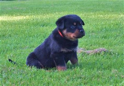 best rottweiler names the best rottweiler names a of rottweilers