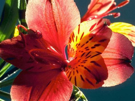 immagini di fiori per desktop sfondi per desktop fiori