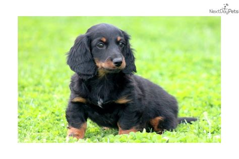 haired dachshund puppies for sale near me dachshund puppies for sale near me