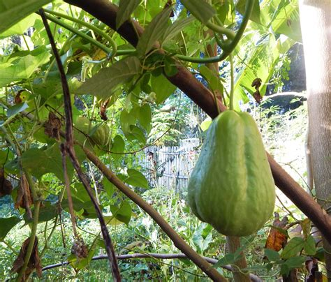 growing chayote squash the grow network the grow network