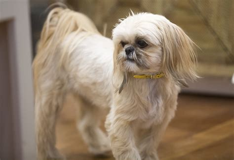 allshihtzu s book of shih tzu care books shih tzu hair breeds picture