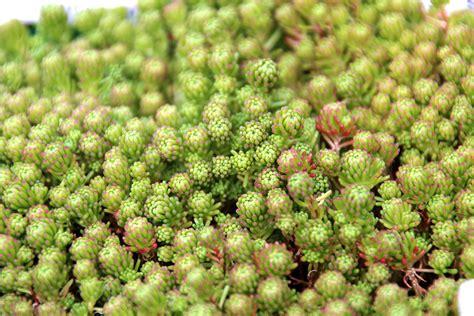 young s sempervivum succulent plant blog
