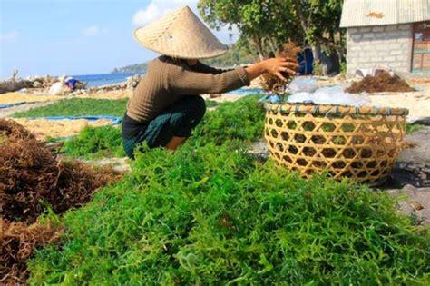 Bibit Rumput Laut katrol produksi ri seriusi kembangkan rumput laut kultur