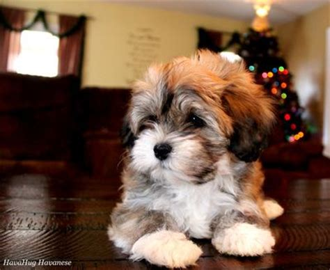 tri color havanese 704 best images about havenese on